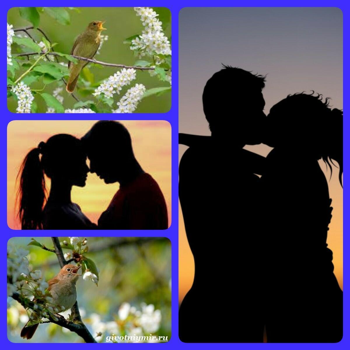 Соловьиная любовь