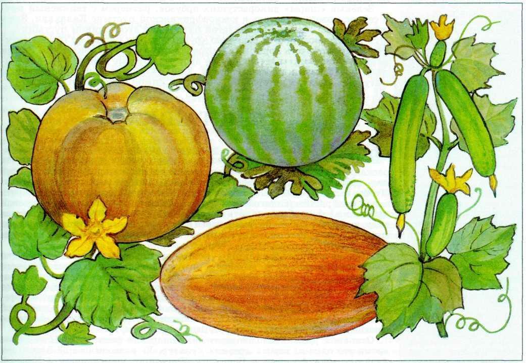 девятом цветки арбуза в картинках позволяет