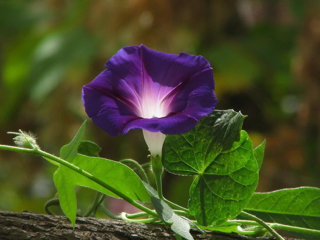 внимание уделено картинки цветка вьюн воспользоваться старым фото