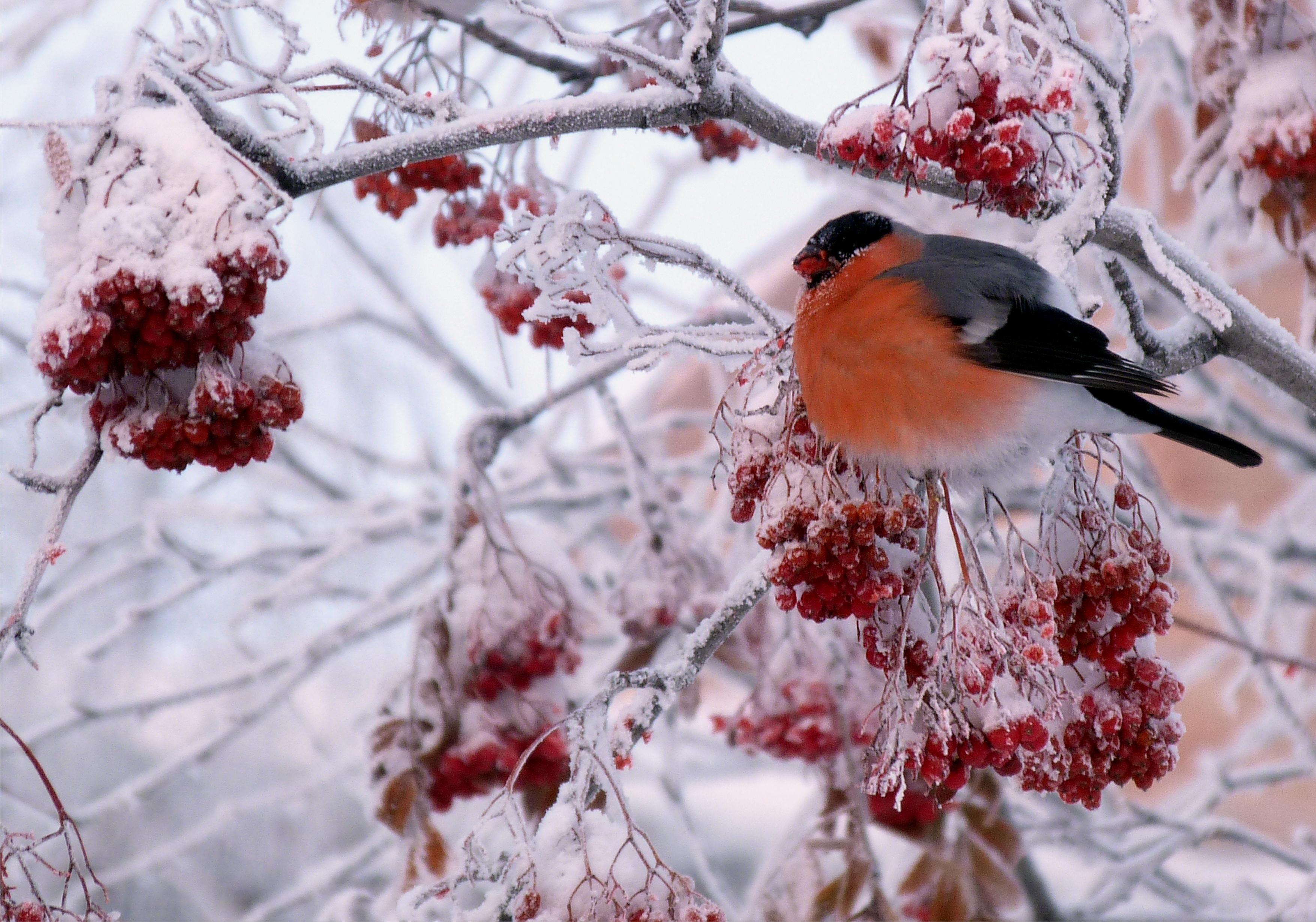 природа мороз рябина зима ветки еда ягоды  № 457172 бесплатно