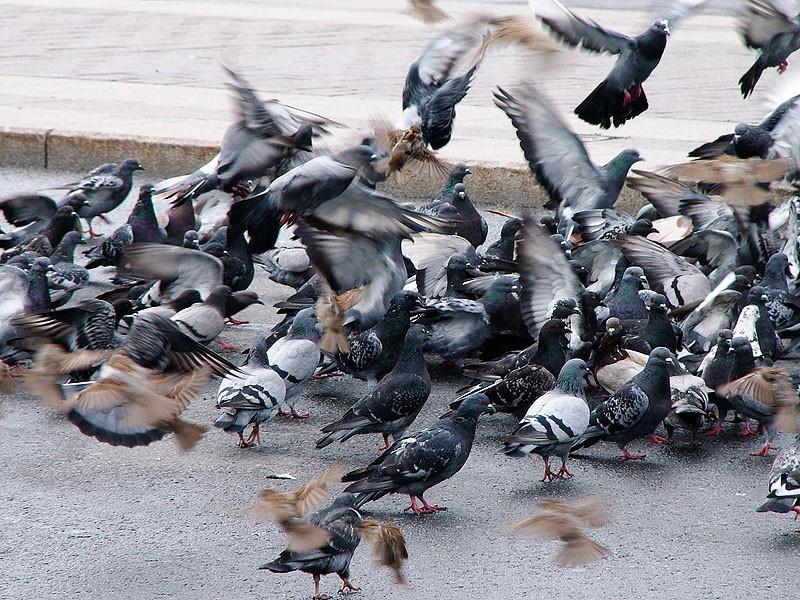 Картинки стаи голубей