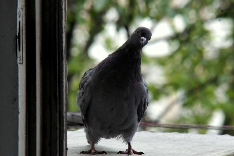 Когда птица стучит в окно - такие судьбоносные приметы необх.