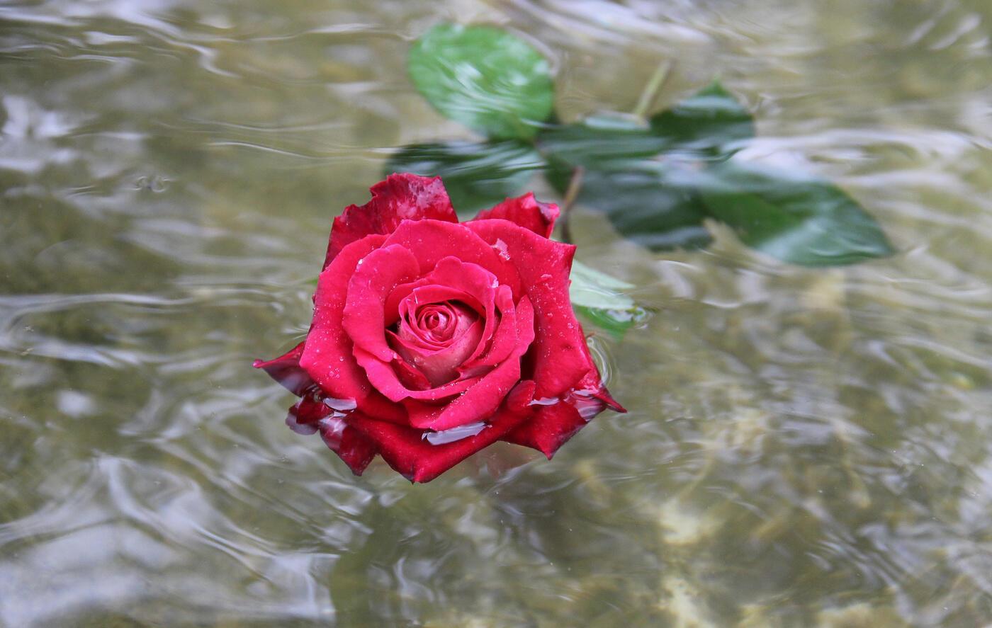 Роза на воде