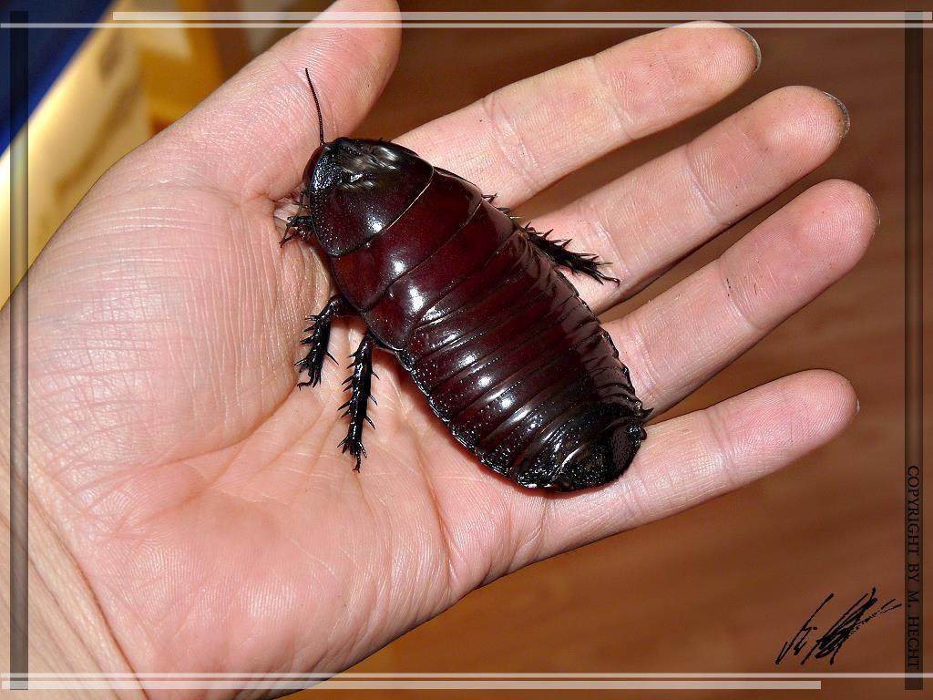 детальный отзыв чорни жуки похожі на таракана параметры нужно будет