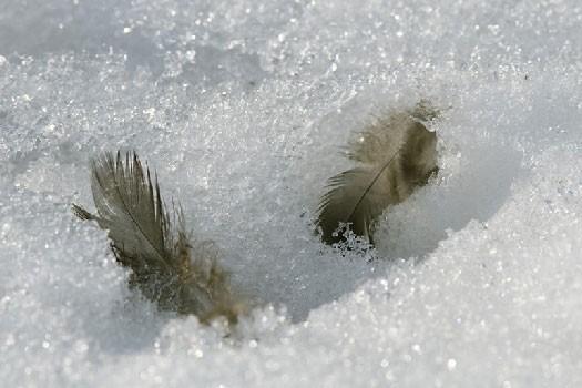 Крылья на снегу