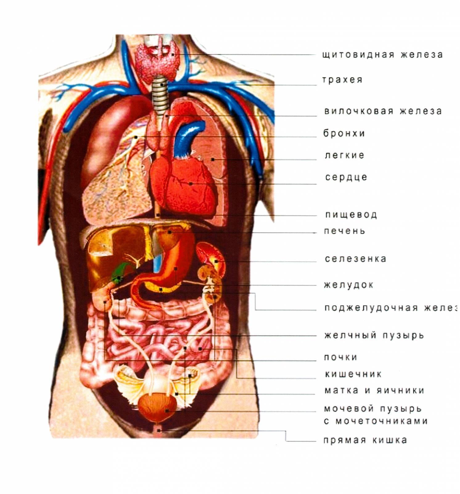 Внутренние органы женщины на картинке