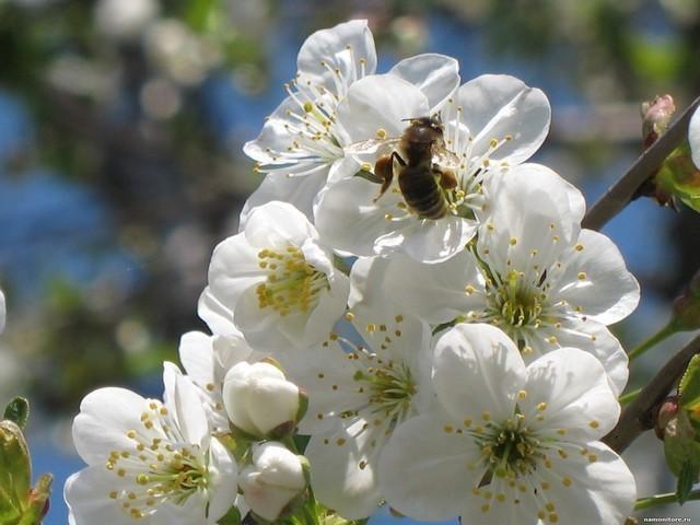 Шмель на цветущей ветке  № 1283630 без смс