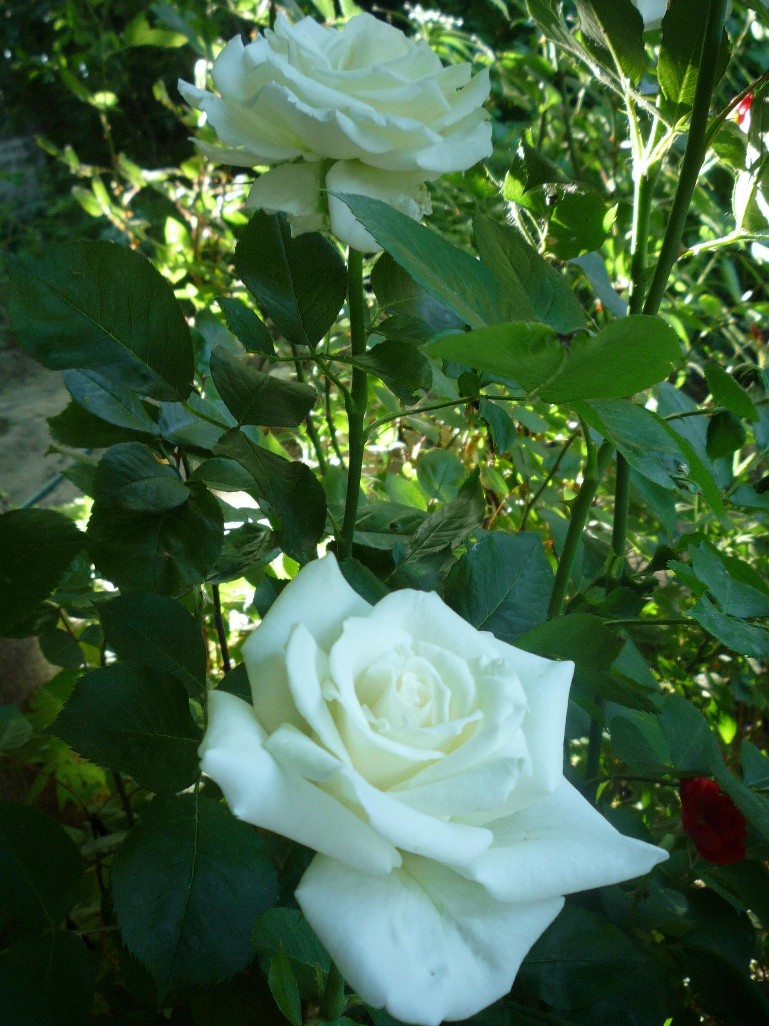 Я помню белую розу...