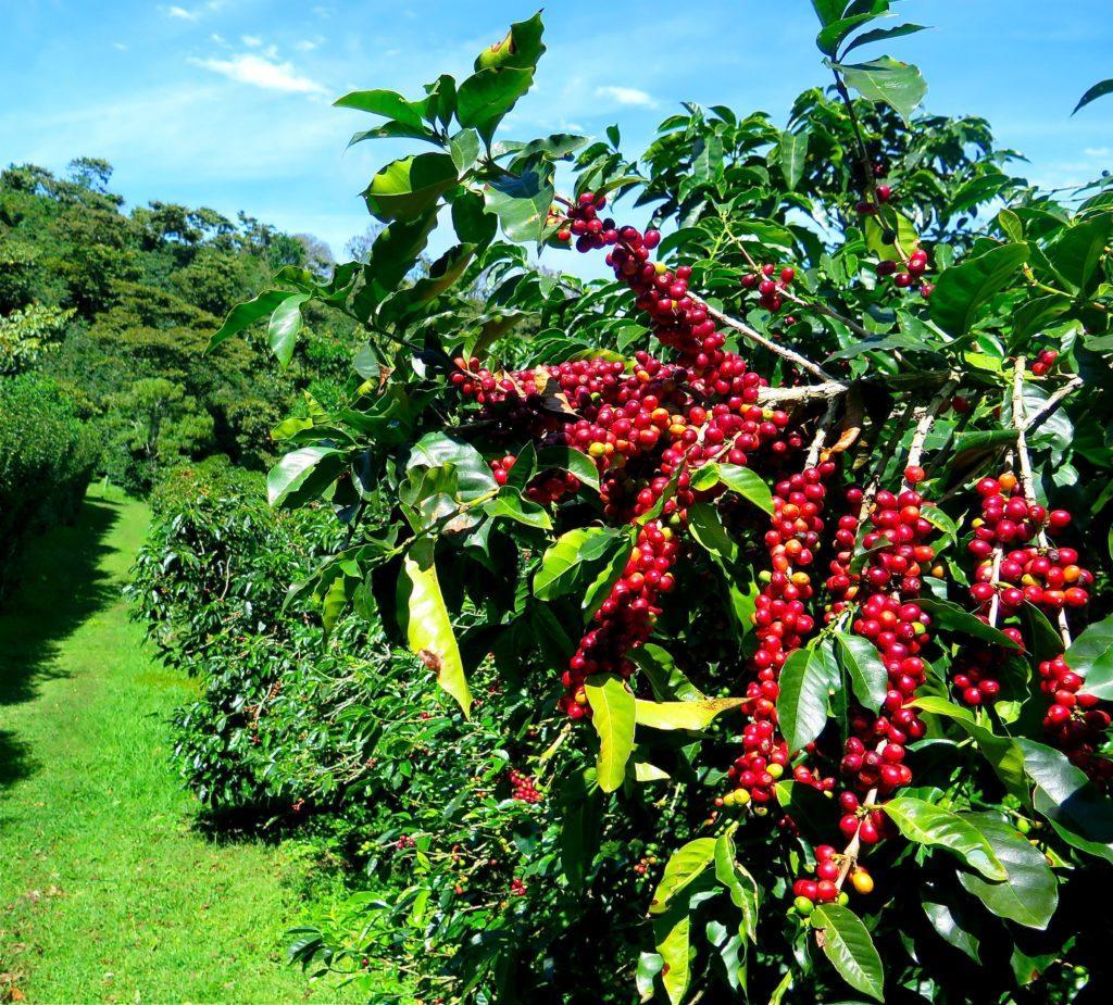 Кофейное дерево картинки фото одного