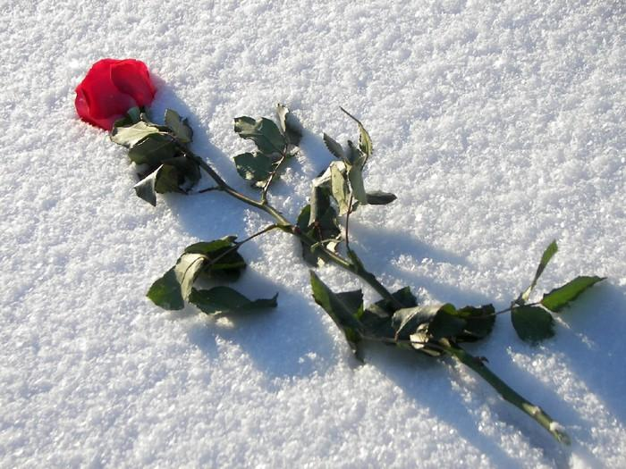 фото розы на снегу и след человека позволяет изменить форму