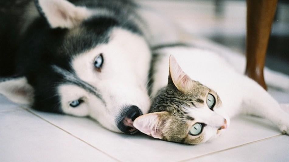 фото последствия хаски с котенком на одной картинке тревожных