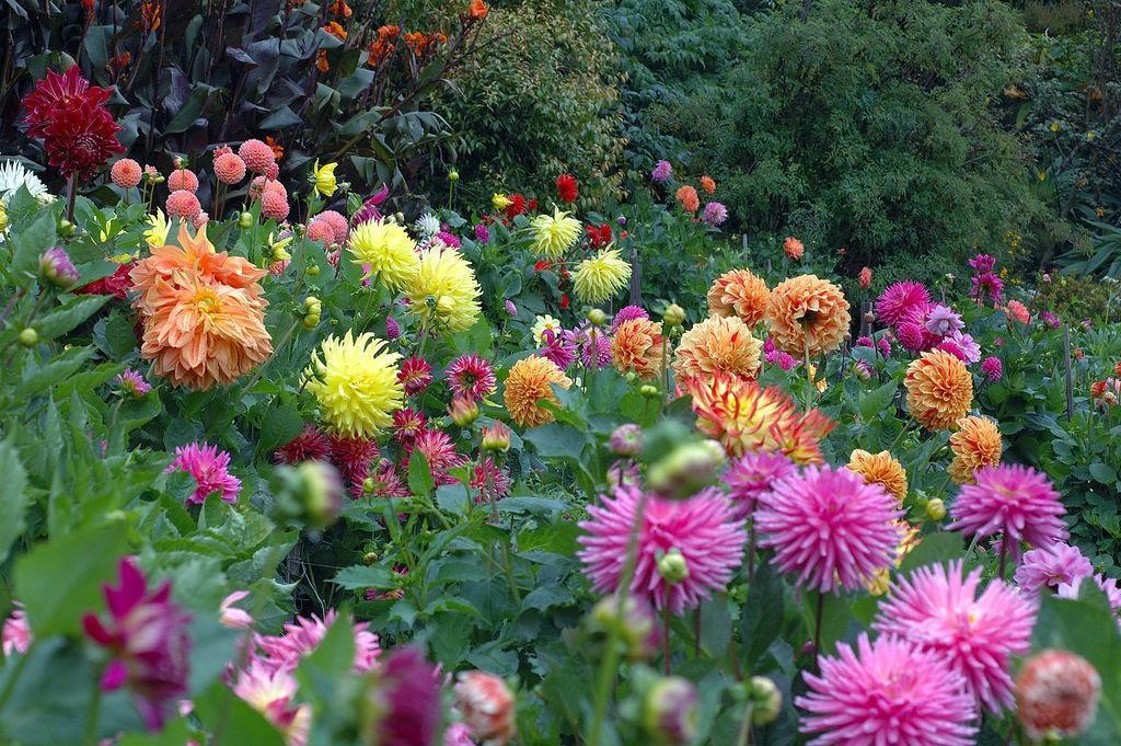 наверное, георгин фото цветов в саду дуранта очень красивый
