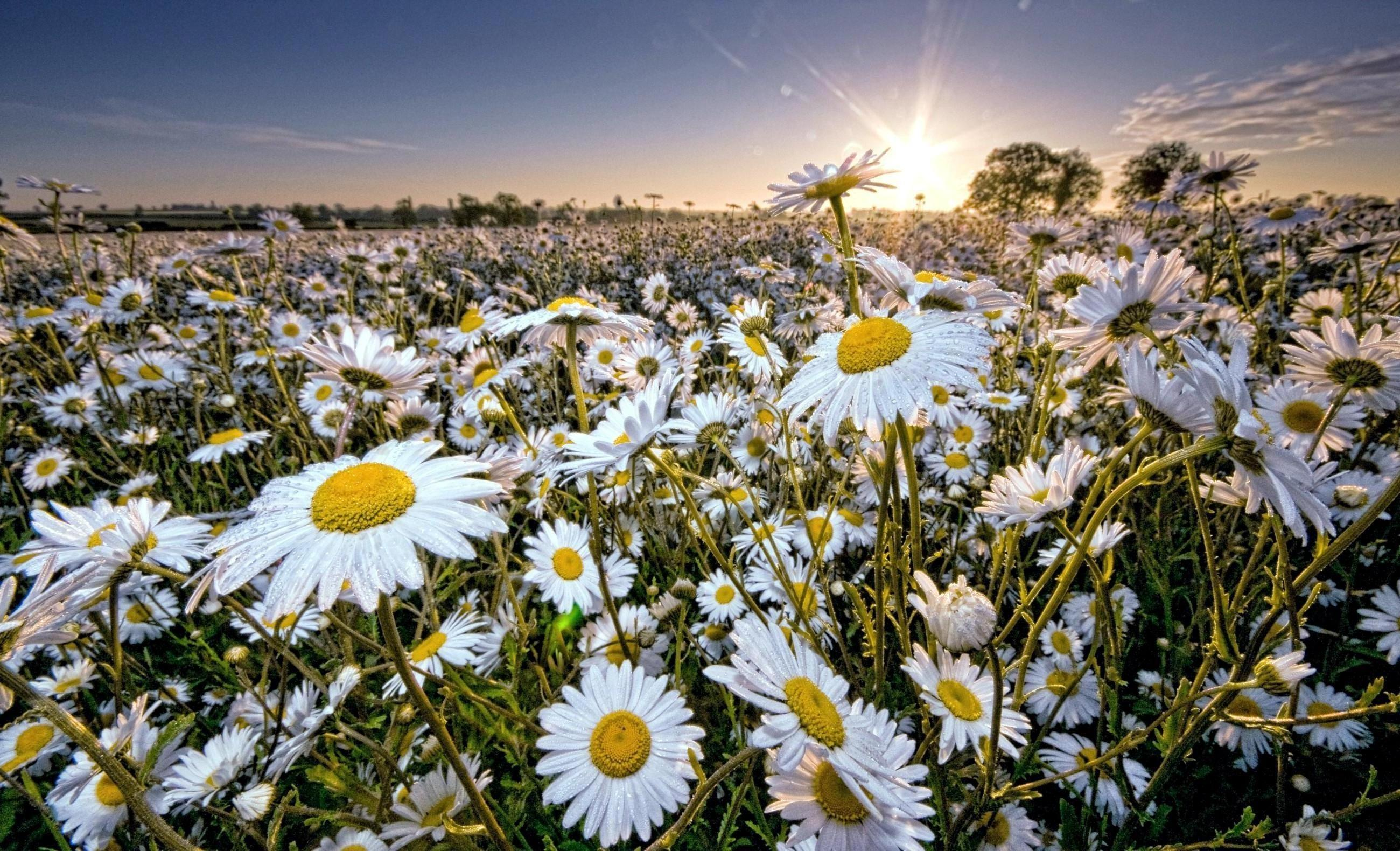 Открытка открытка, фото красивые ромашки в поле