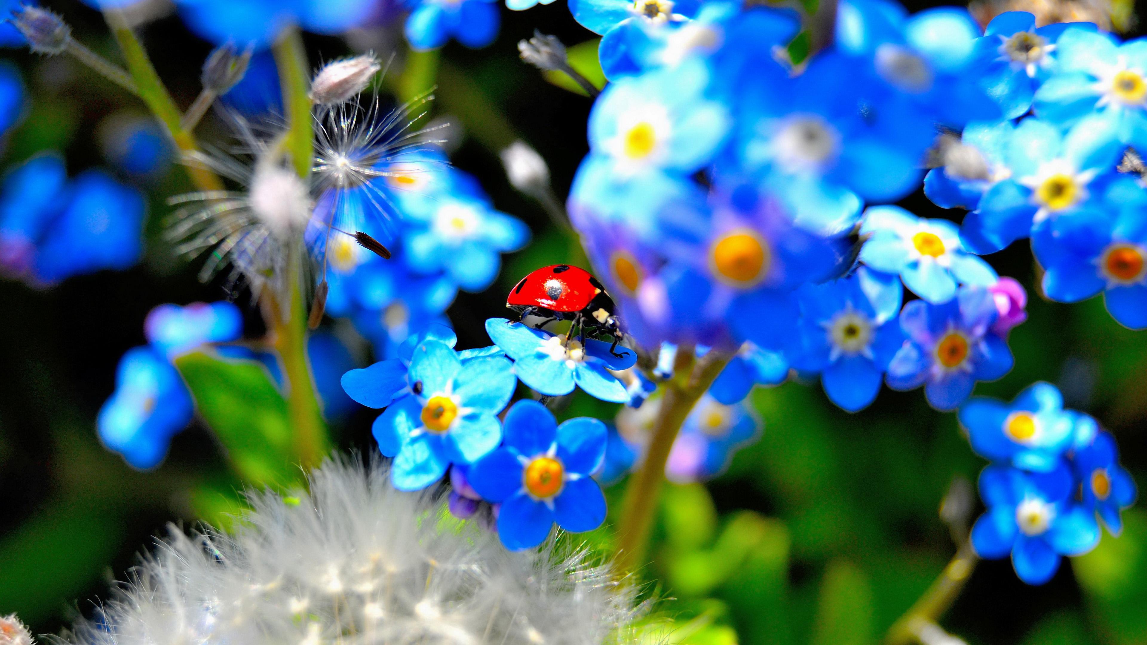 синие цветы незабудки крупный план роса смотреть