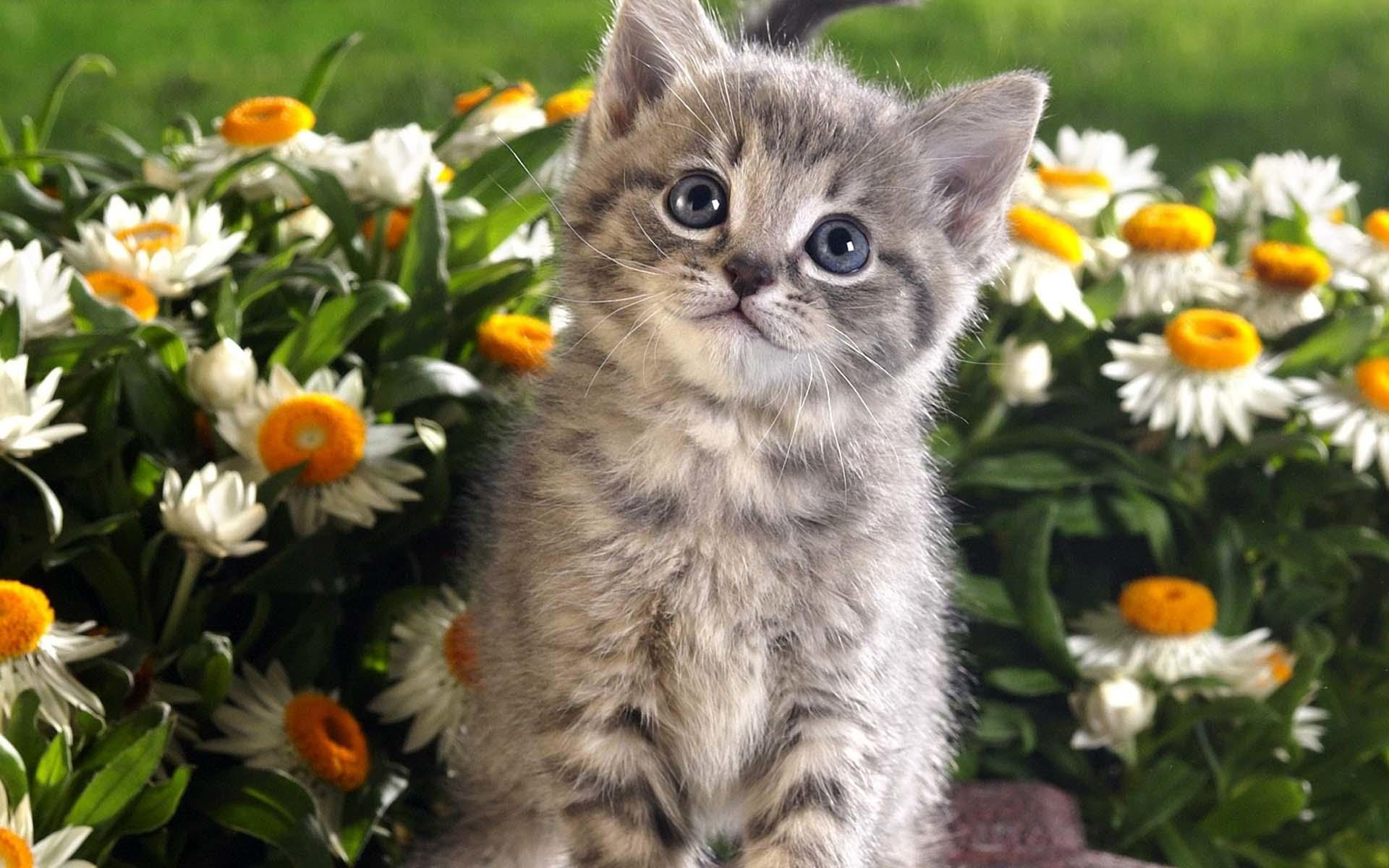 A kitten is a juvenile cat After being born kittens are totally dependent on their mother for survival and they do not normally open their eyes until after seven to