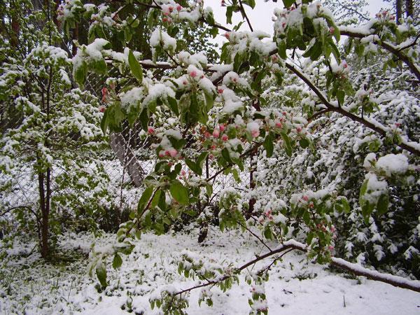 Холодной фатою укрыл снег цветущие вишни
