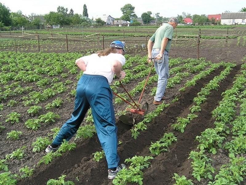 Почему опытные садоводы вносят удобрения в бороздки расположенные по краям