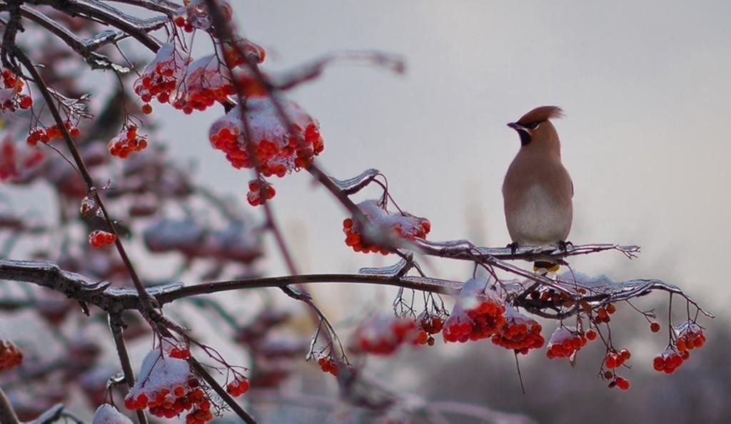 природа мороз рябина зима ветки еда ягоды  № 457184 без смс