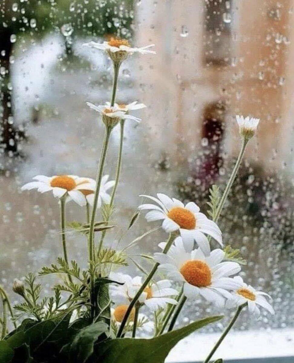 Ромашки за мокрым стеклом фото