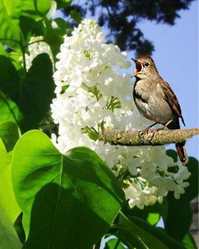 Послушать весенний запев соловья...