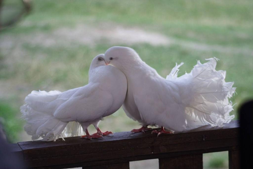 Голуби целуются на крыше — photo 14