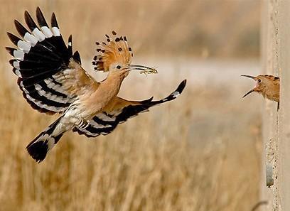Удод, птицы Подмосковья
