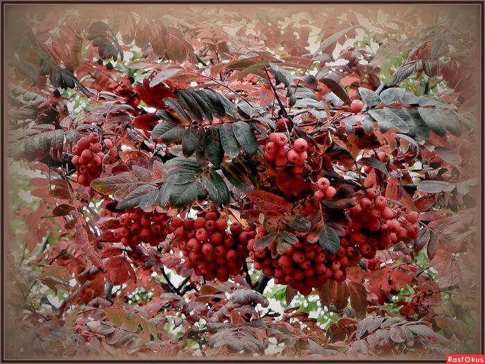 Полыхают гроздья рябин