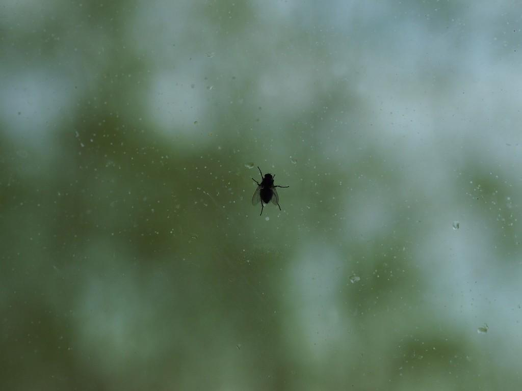 Ехидная муха