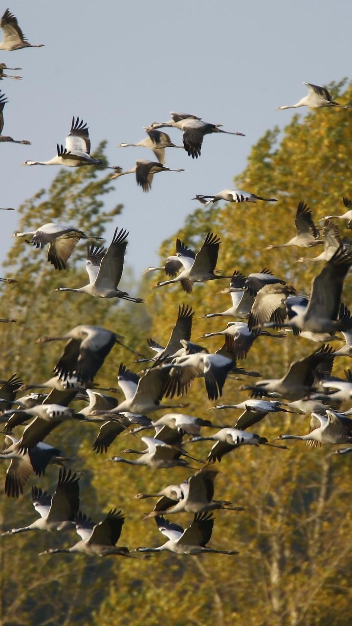 картинки осень стаи птиц вертикальные этой церемонии, которую