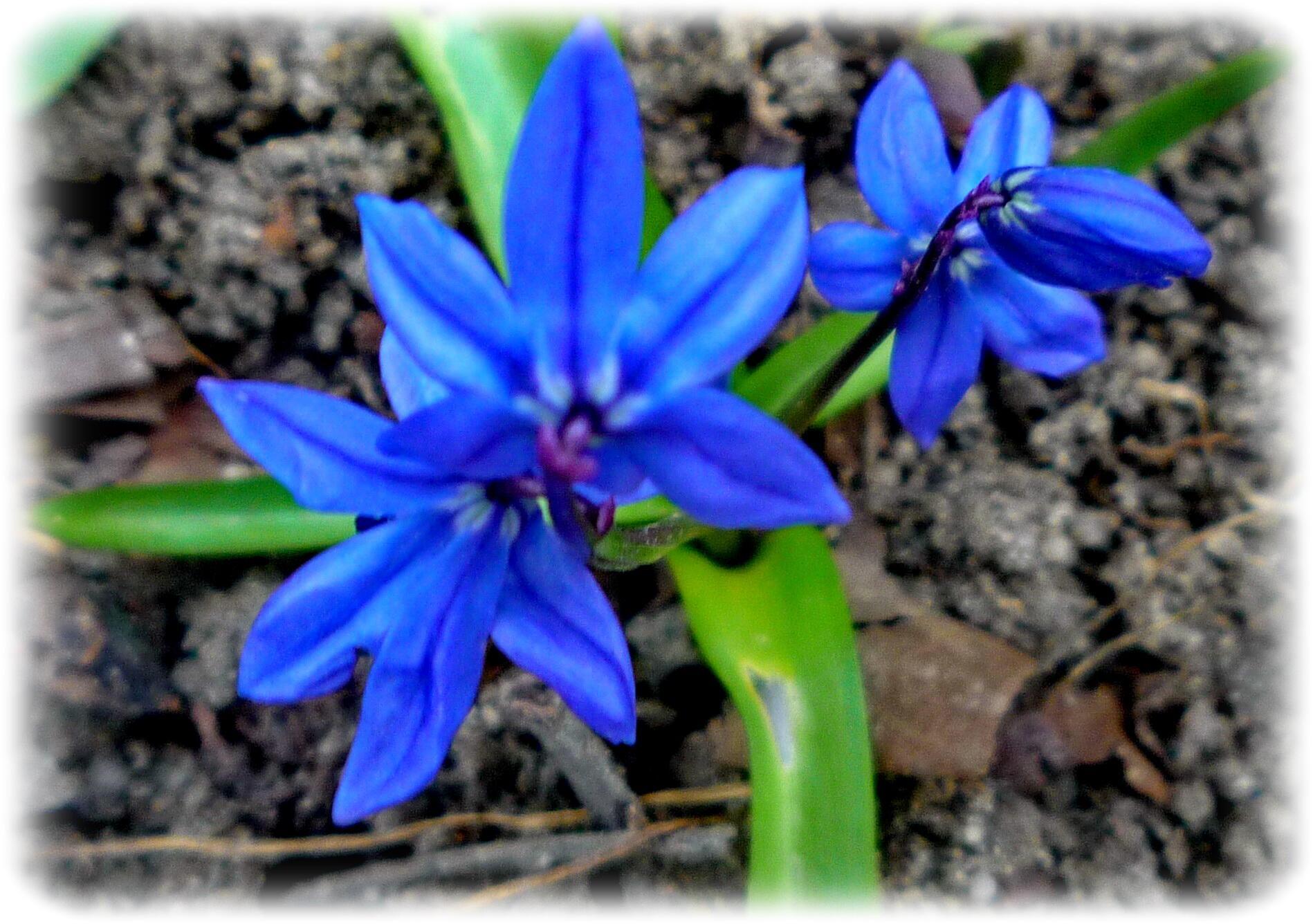 Колокольчик Весны