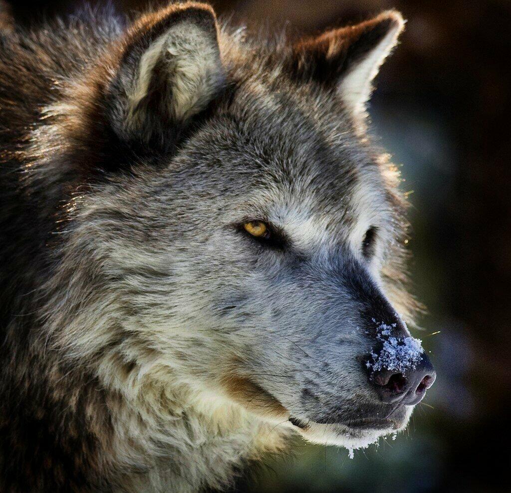 Я одинокий старый волк