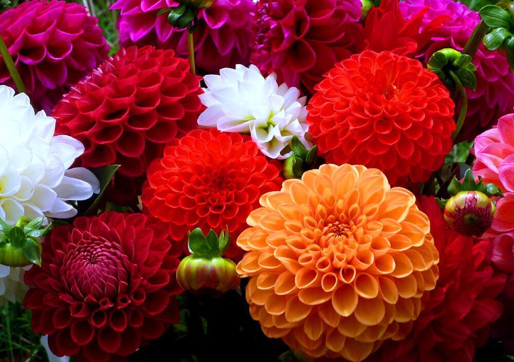 Фото цветов георгины букеты