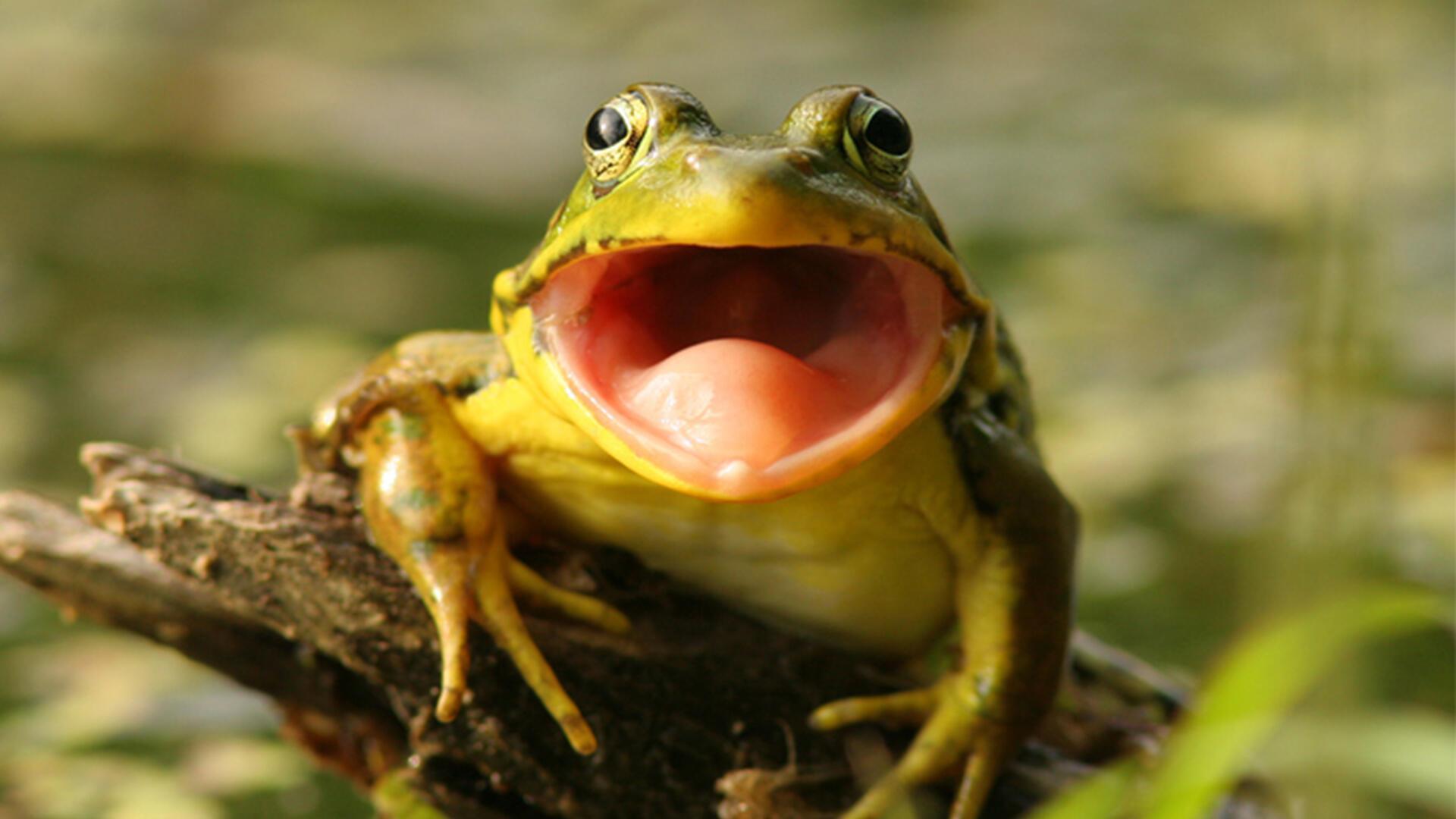 поющая жаба картинки частный