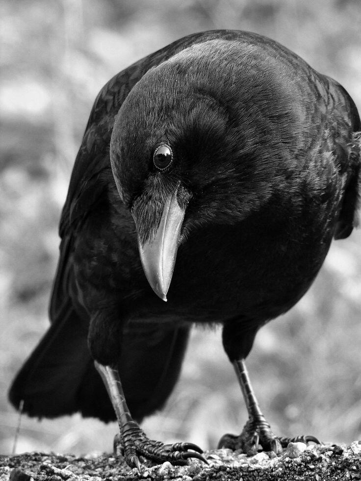 Птица Перепил.