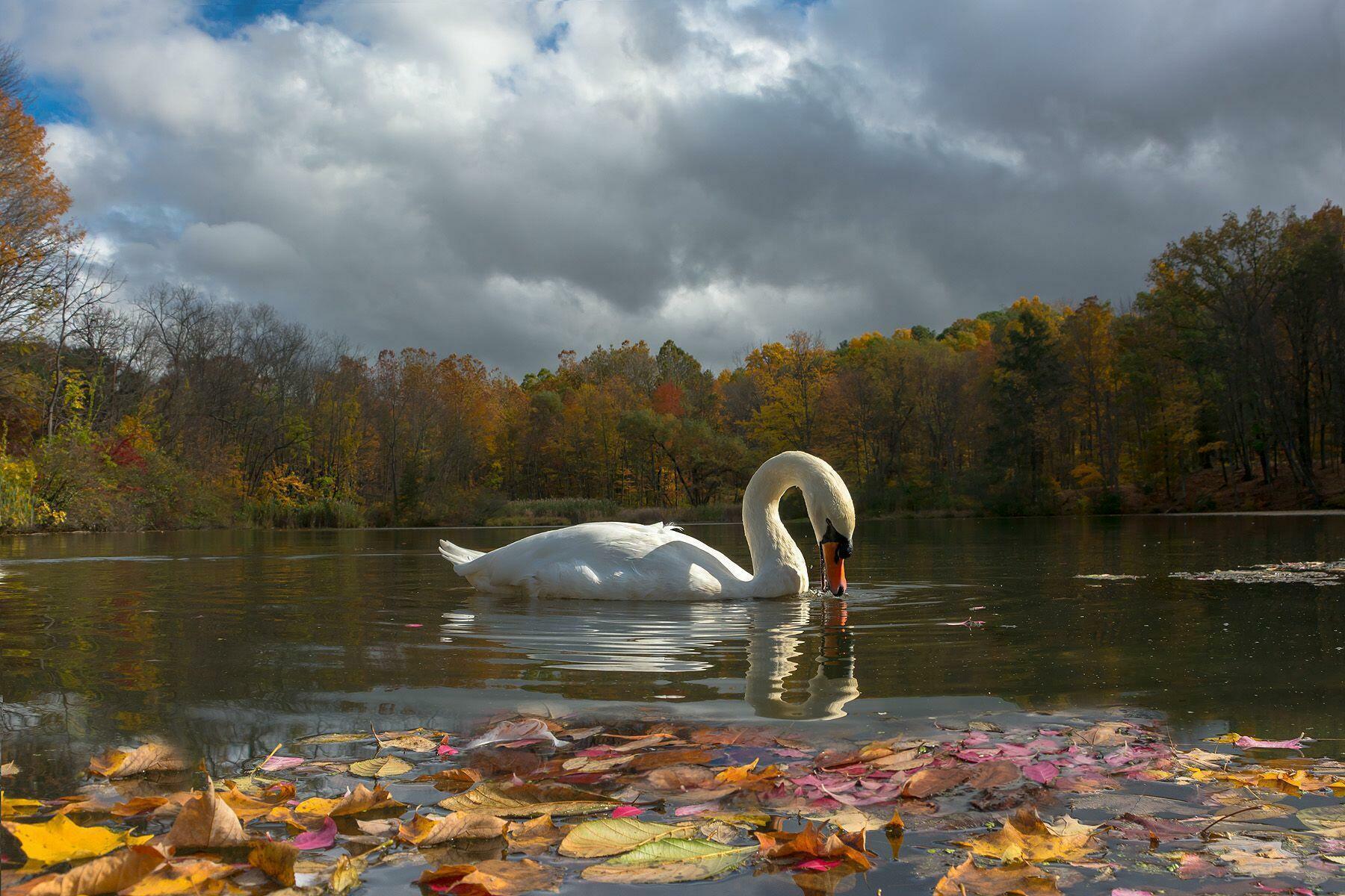 развита фото осень лебеди поделиться рецептом