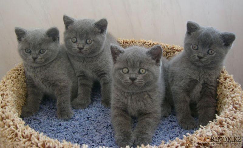 Кошки британской породы: фото
