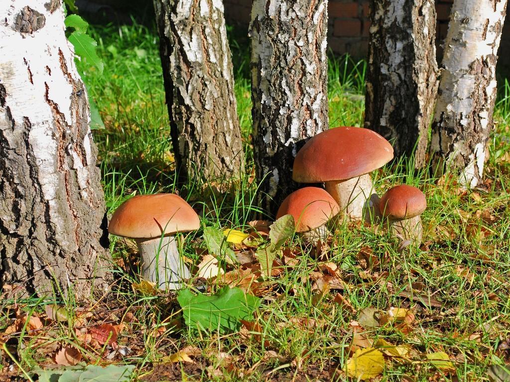 Когда пойдут грибы в чеховском районе в 2018 году