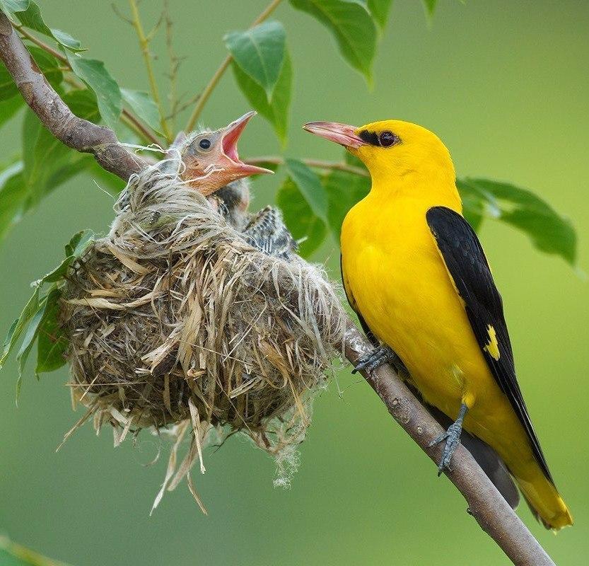 Картинки иволга птица