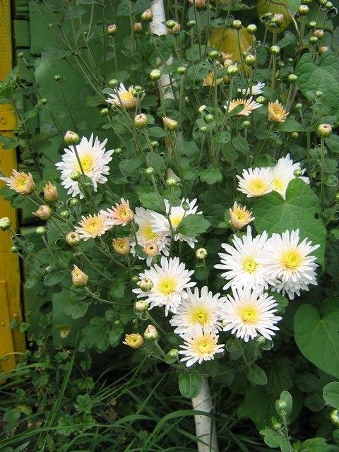 Белый куст хризантем