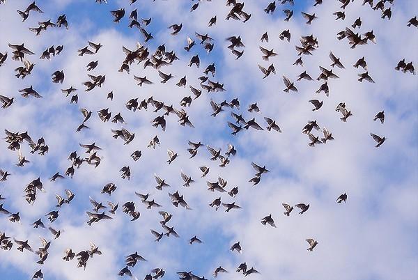 Много птиц собирается на крышах