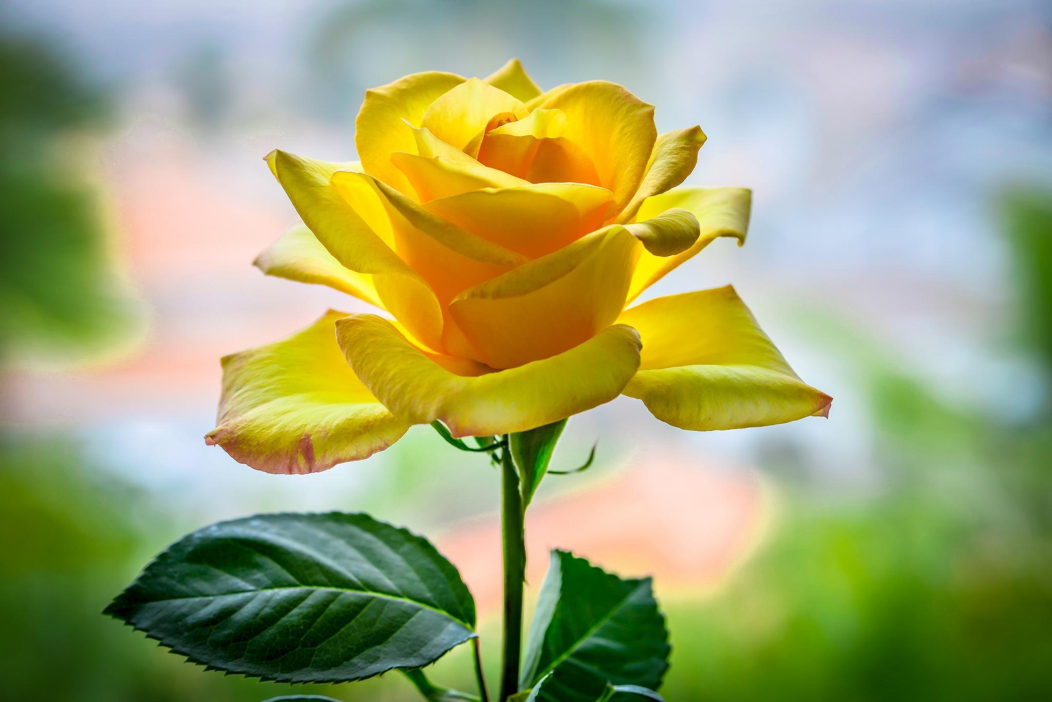Картинки желтая роза, днем рождения