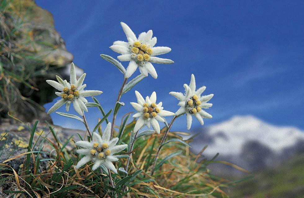 Фото эдельвейса цветка в горах картинки определите область