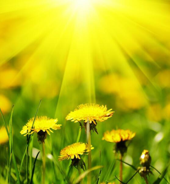 Солнце и одуванчики (танка)