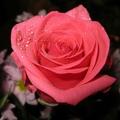 Поэт Elvie flower, стихи которого вы можете прочитать в поэтической социальной сети Поэмбук.