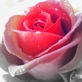 Поэт Аленький Цветочек, стихи которого вы можете прочитать в поэтической социальной сети Поэмбук.